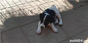 Vand jack russell russel poze reale  - imagine 2