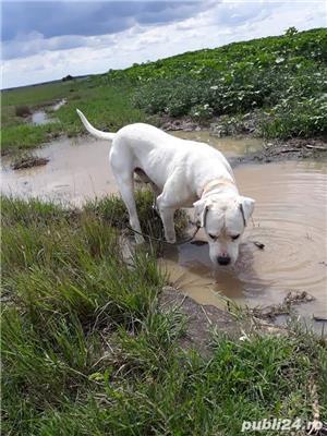 Dog argentinean. - imagine 3