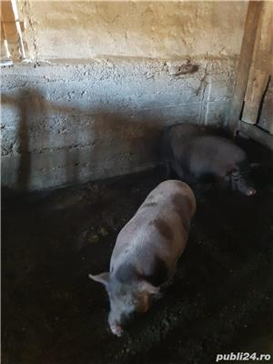 Vand porci vietnamezi - imagine 2
