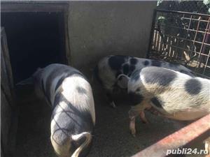 porci de carne și purcei de vânzare. - imagine 2