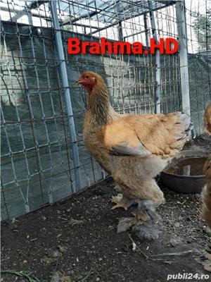 brahma columbia 2020 - imagine 2