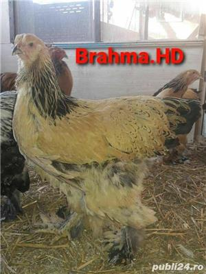 brahma columbia 2020 - imagine 1
