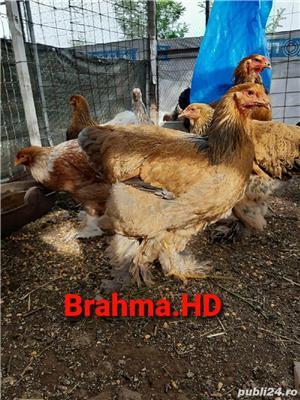 brahma columbia 2020 - imagine 3