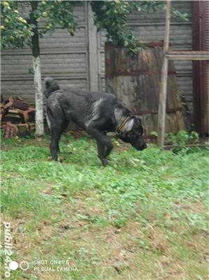kangal negru mascul 6 luni  - imagine 1