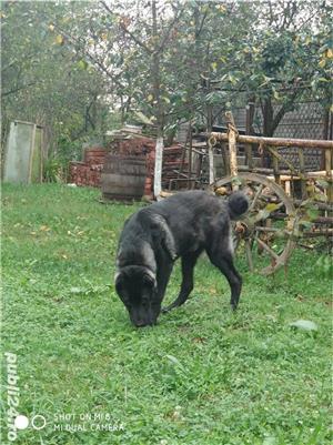 kangal negru mascul 6 luni  - imagine 4