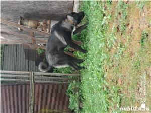 kangal negru mascul 6 luni  - imagine 5
