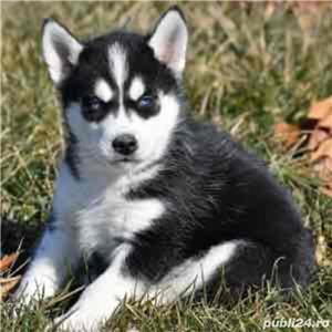 Husky Siberian de vanzare rasa pura/pedigree - imagine 1