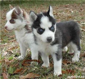 Husky Siberian de vanzare rasa pura/pedigree - imagine 2