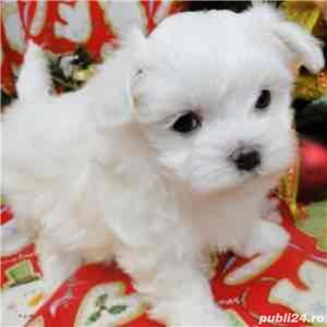 de vanzare bichon maltese rasa pura mini toy din parinti cu pedigree - imagine 2