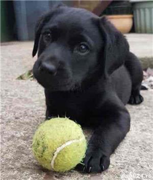 Labrador Retriever de vanzare rasa pura 100%/pedigree - imagine 4