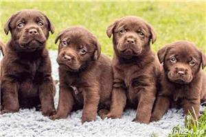 Labrador Retriever de vanzare rasa pura 100%/pedigree - imagine 2