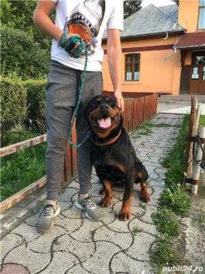 rottweiler pentru monta cu pedigree  - imagine 2