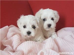 Bichon Maltese din parinti cu pedigree!!! - imagine 4