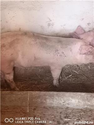 Vând porci de carne 120-130 kg - imagine 1