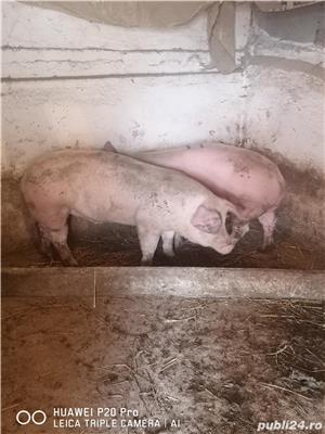 Vând porci de carne 120-130 kg - imagine 4