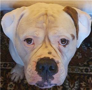 Bulldog American cu pedigree pentru imperechere - imagine 3