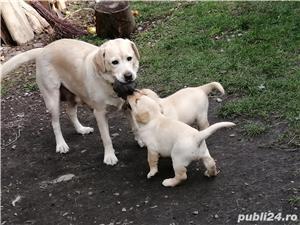 Pui Labrador Retriever - imagine 3