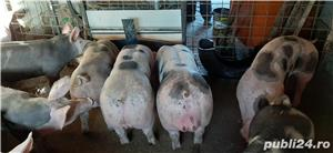 Porci de carne rasă pură  - imagine 5