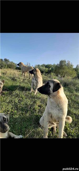 caine kangal pui 6 luni  300€ buc  - imagine 3