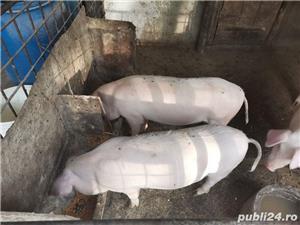 Porci  - imagine 2