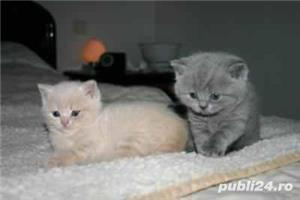 british blue si red tabby - imagine 3