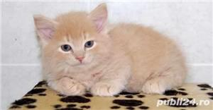 british blue si red tabby - imagine 2