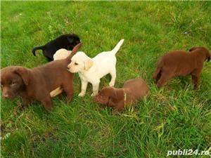 Labrador Retriever(toate culorile)Golden Retriever!!! - imagine 4