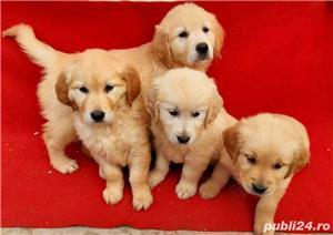 Labrador Retriever(toate culorile)Golden Retriever!!! - imagine 1