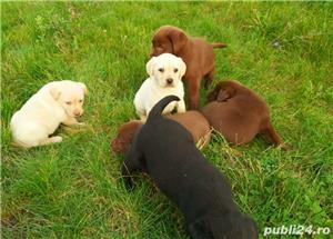 Labrador Retriever(toate culorile)Golden Retriever!!! - imagine 5