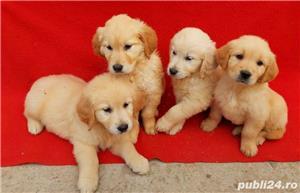 Labrador Retriever(toate culorile)Golden Retriever!!! - imagine 2