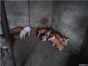 Vând purcei rasă de carne - imagine 1