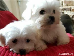 Bichon Maltese,Canisa!!! - imagine 4