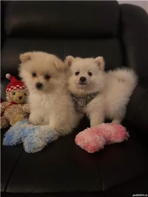 Pomeranian alb , pentru imperechere  - imagine 3