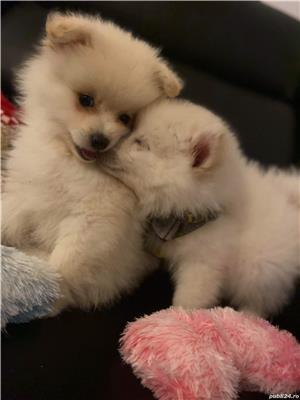 Pomeranian pentru imperechere  - imagine 2
