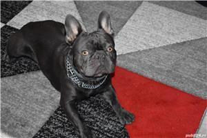 Nu este de vanzare!!!!este ptr Monta Bulldog francez Blue - imagine 2