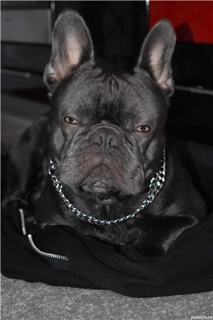 Nu este de vanzare!!!!este ptr Monta Bulldog francez Blue - imagine 1