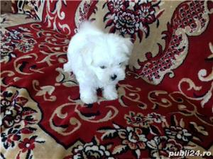Bichon Maltese din parinti cu pedigree!!! - imagine 2