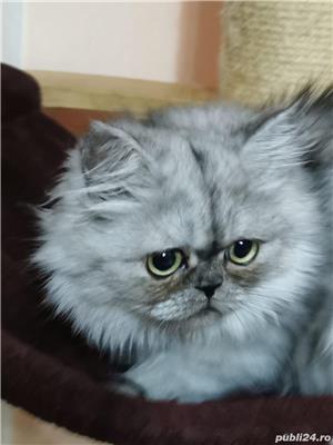 Pisici persane - imagine 2