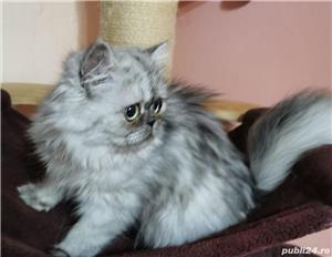 Pisici persane - imagine 3