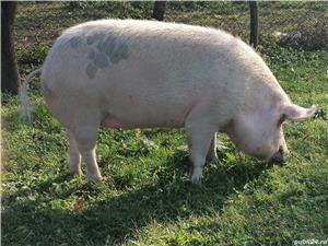 Vând porc de tara preț negociabil - imagine 3