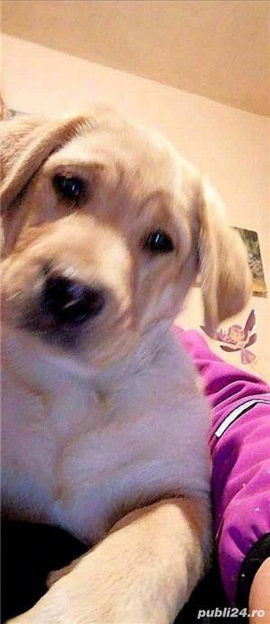 Pui Labrador Retriever - imagine 4