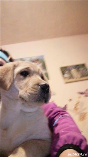 Pui Labrador Retriever - imagine 5