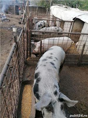 Vând porci crescuți bio - imagine 7