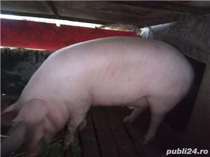 Porc de vânzare - imagine 2
