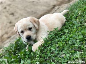 Catei Labrador Retriever Auriu de vanzare 100% rasa pura/ livrare si in strainatate  - imagine 1