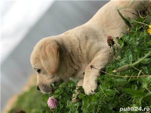 Catei Labrador Retriever Auriu de vanzare 100% rasa pura/ livrare si in strainatate  - imagine 2