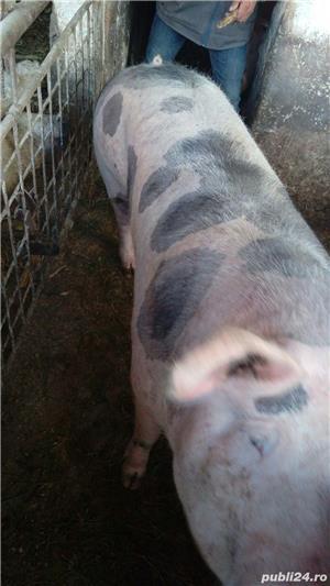 Porci rasa de carne pentru Craciun - imagine 5