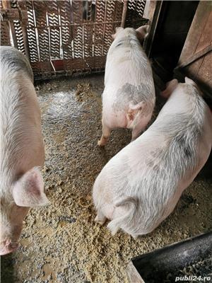 vand porci 100 - 150 kg, 200kg - imagine 1