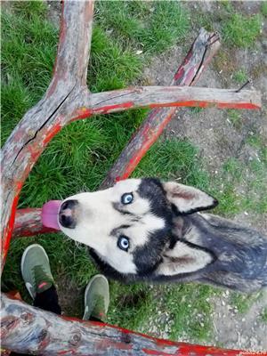 Husky - imagine 2
