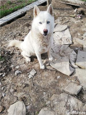 Husky siberian alb - imagine 1
